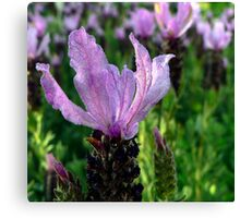 Lavender is Lovely Canvas Print
