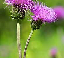 Meadow Thistles by M.S. Photography/Art