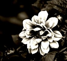 Dahlia in Black and White by shane22