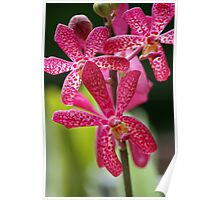 Prink Orchid - Orchid World, Barbados Poster