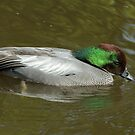 Male Falcated Duck by Robert Abraham