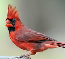 Northern Cardinal on an April Evening by Bonnie T.  Barry