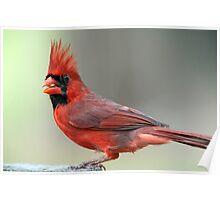Northern Cardinal on an April Evening Poster