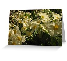 Primrose blooms Greeting Card