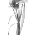 Single Tulip Stem - Mono by Ann Garrett