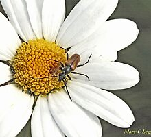 Longhorn beetle, Pseudovadonia livida,  on white daisy. White daisy petals of open flower by pogomcl