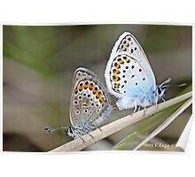 Mating Silver-studded  Blues, Plebejus argus Poster