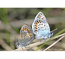 Mating Silver-studded  Blues, Plebejus argus Photographic Print