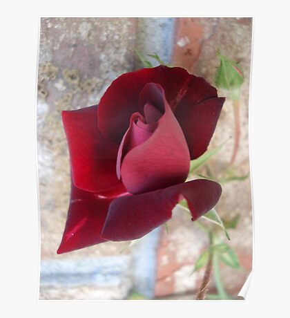Ed's Rose Poster