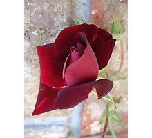 Ed's Rose Photographic Print