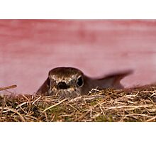 Mother bird nesting over the tool shed  Photographic Print