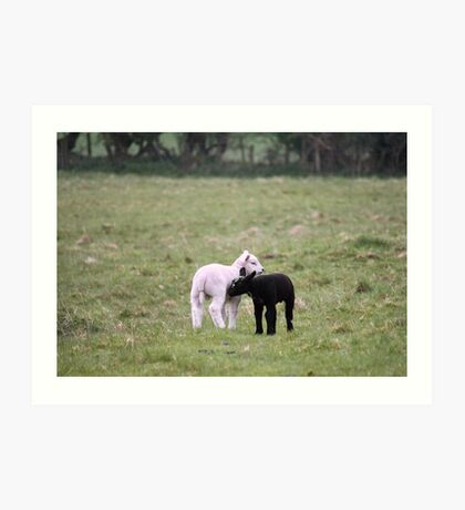 Black and white lambs Art Print