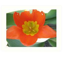 Orange and Lemon-aided Tulip Art Print