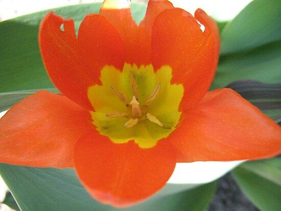 Orange and Lemon-aided Tulip by MarianBendeth