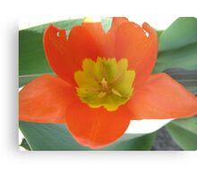Orange and Lemon-aided Tulip Metal Print