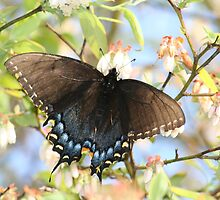 Black Butterfly on a Blueberry Bush by DebbieCHayes