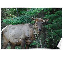 Cow Elk Poster