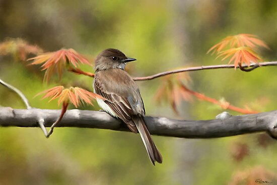 Eastern Phoebe Flycatcher - Photo Painting by Renee Dawson