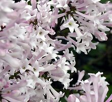 Lilac - Syringa vulgaris 'Miss Kim' by Alyson  Prokop