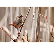 Swamp Sparrow - Ottawa, Ontario Photographic Print