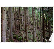 Deep Pine Woods in Washington Poster
