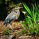 Blue Heron by Xcarguy