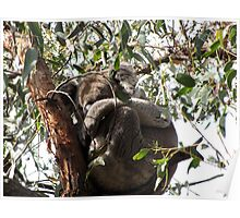 Sleepy Werribee Gorge Koala Poster