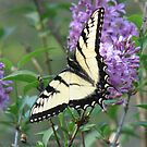 Swallowtail Butterfly by JeffeeArt4u