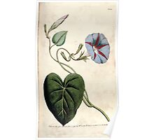 The Botanical magazine, or, Flower garden displayed by William Curtis V3 V4 1790 1791 0086 Convolvus Purpureus, Purple Bindweed, Convolvus Major Poster