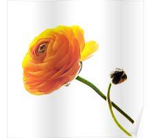 Ranunculus #1 Poster