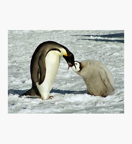 Emperor Penguin Feeding Chick, Antarctica  Photographic Print