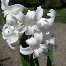 White Hyacinthus by Elena Skvortsova