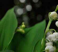 Lily's of the valley II  by Jeff Stroud