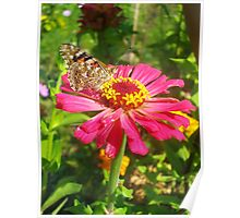 beautiful zinnia flower and butterfly Poster