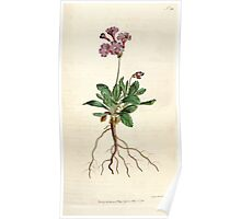 The Botanical magazine, or, Flower garden displayed by William Curtis V5 v6 1792 1793 0098 Primula Marginata, Silver Edged Primula Poster