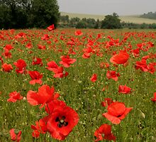 Red Poppies Kent by adam swaine