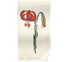 The Botanical magazine, or, Flower garden displayed by William Curtis V1 V2 1787 1789 0068 Lilium Chalcedonicum, Chalcedonian Lilly Poster