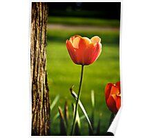 Tulip study Poster