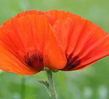 Poppy by OldaSimek