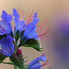 Viper's Bugloss by OldaSimek