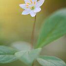 Arctic Starflower by OldaSimek
