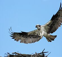 Osprey flies home by Jim Cumming