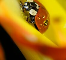 Macro of ladybird by Igor Sinitsyn