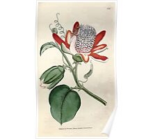 The Botanical magazine, or, Flower garden displayed by William Curtis V1 V2 1787 1789 0144 Passiflora Alata, Winged Passion Flower Poster