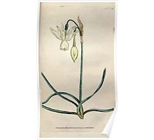 The Botanical magazine, or, Flower garden displayed by William Curtis V1 V2 1787 1789 0108 Narcissus Triandrus, Reflexed Daffodil Poster