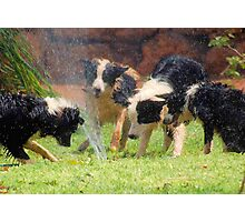 FOUR BORDER COLLIES AND A HOSE! Photographic Print