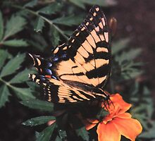 tiger swallowtail by Don Lubin