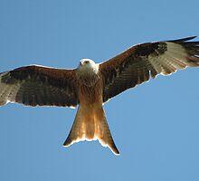red kite lets go spy on kites by Grandalf