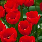 Springtime field of red tulips by Michael Brewer