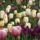 Sea of Passion - Tulips by Barberelli
